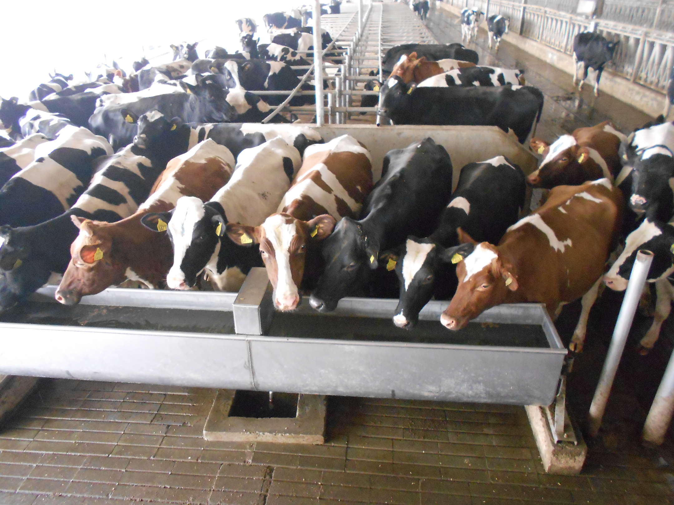 In-calf-heifers-watching-the-world-go-by1